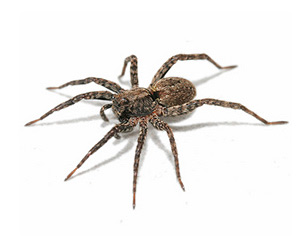 White-tailed spider facts