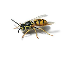 Wasp facts